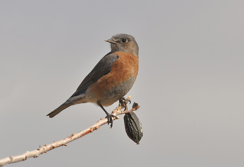 Photograph Western Bluebird  by Luis Jaime Leal on 500px