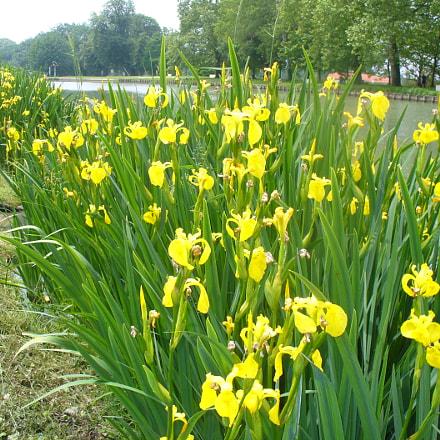 Iris sauvages, Panasonic DMC-LZ5