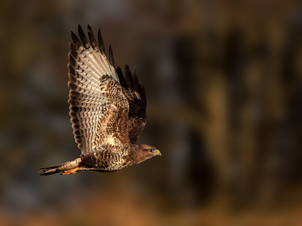 Photograph common buzzard by TomMelton on 500px