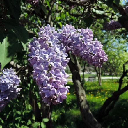 Lilac Garden, Nikon COOLPIX P340