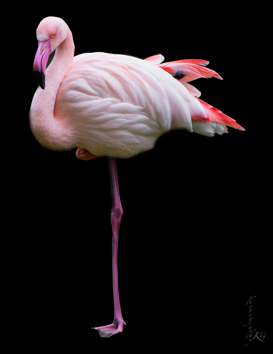 Photograph Flamingo (Pretty in Pink) by Katrin Gerchel on 500px