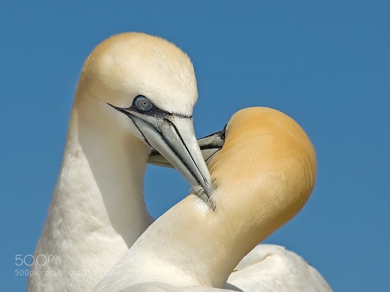 Photograph Gannet by Jerry Bouwmeester on 500px