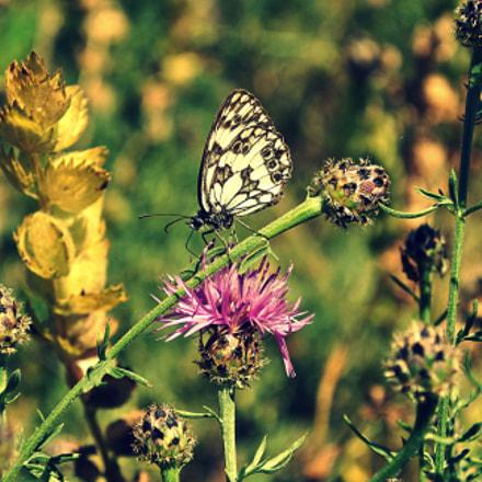 Butterfly, Nikon D3000, AF-S DX VR Zoom-Nikkor 18-55mm f/3.5-5.6G