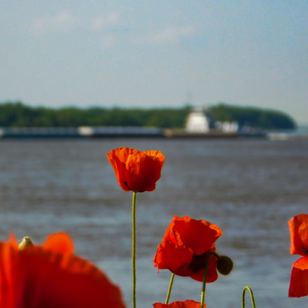 Poppies on the Mississippi, Nikon COOLPIX B500