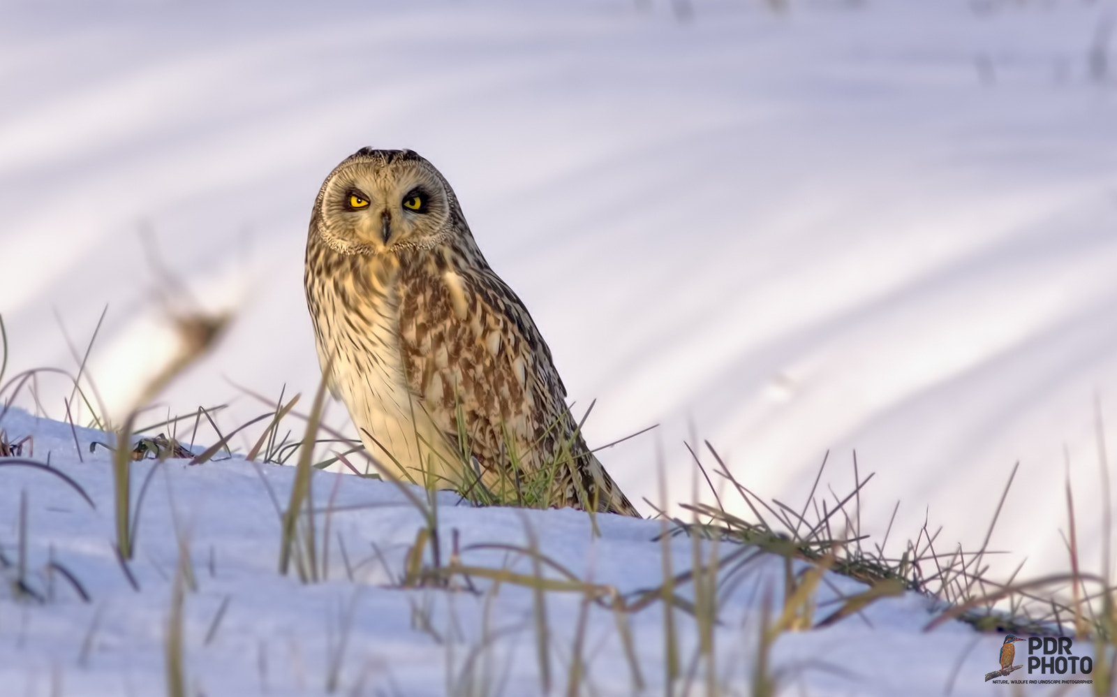 Photograph The Short-eared Owl by PdR Photo on 500px