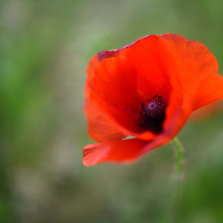 Ode To The Poppy **, Nikon D750, AF-S Micro Nikkor 60mm f/2.8G ED
