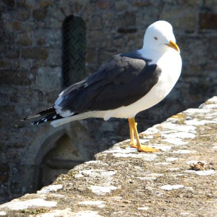 Mont-Saint-Michel gull, Panasonic DMC-TZ36