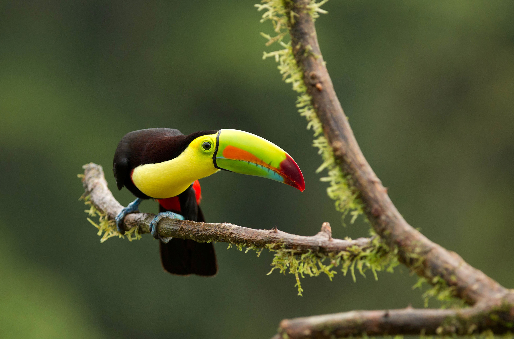 Photograph Keel billed toucan  by Yehudi  Hernandez on 500px