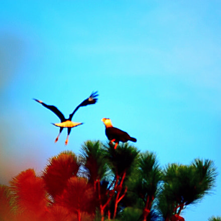 Hawks, Nikon D5600