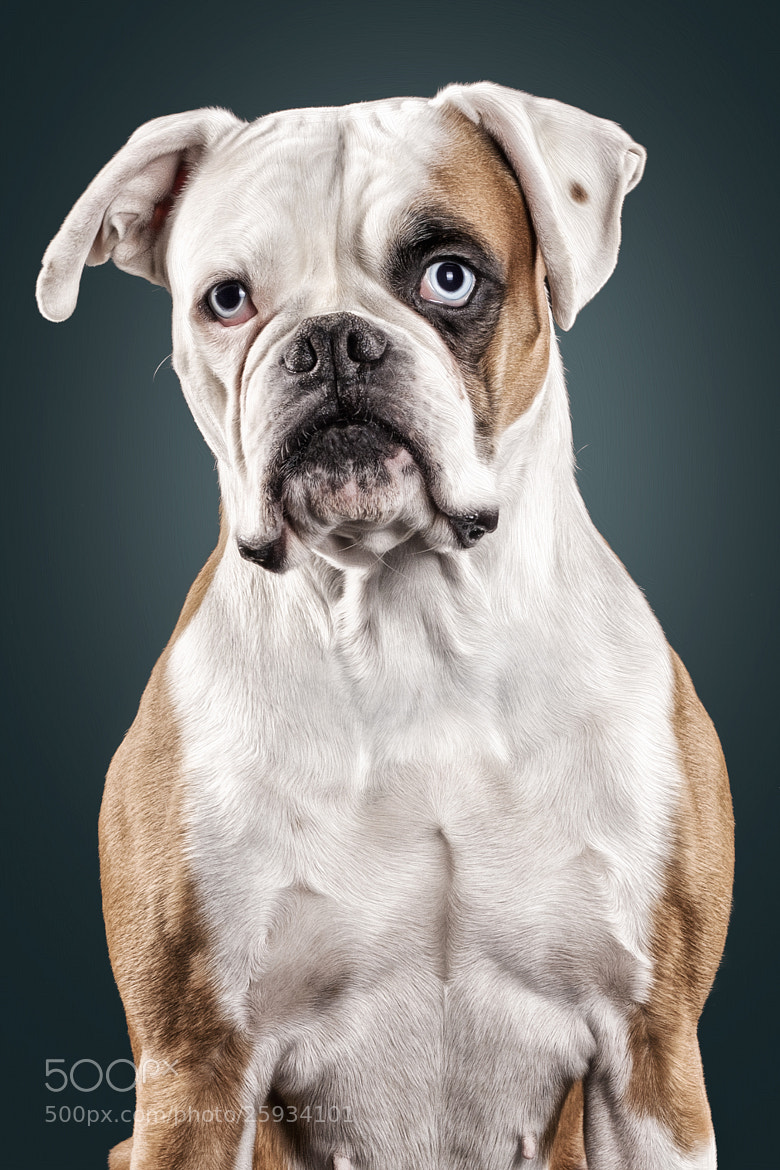 Photograph Boxer by Sven Engel on 500px