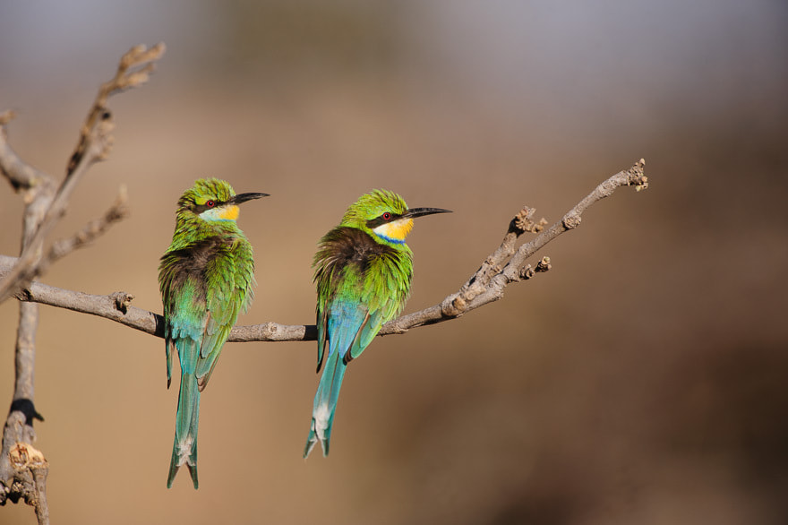 Photograph Swallow-tailed bee-eaters by Damir Dragosevic on 500px