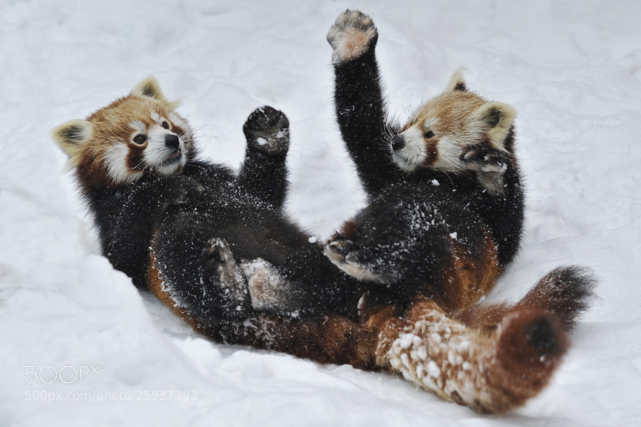 Photograph Red Pandas Snow Fun by Josef Gelernter on 500px