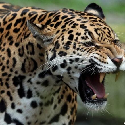 Jaguar, Canon EOS-1D X MARK II, Canon EF 300mm f/2.8L IS II USM