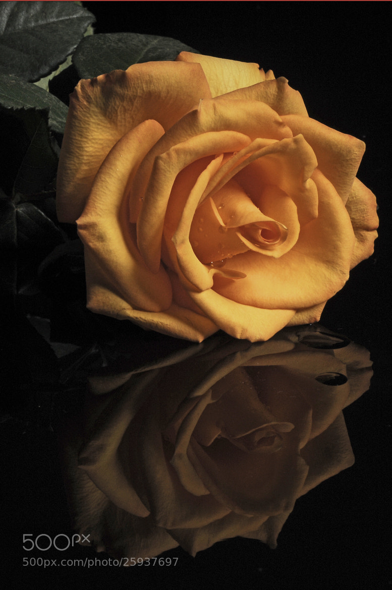Photograph Rose with reflection by Cristobal Garciaferro Rubio on 500px