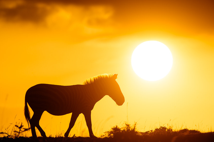 Photograph Zebra in the rising sun by Damir Dragosevic on 500px