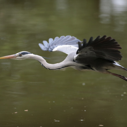 Blue heron, Canon EOS-1D X, Canon EF 300mm f/2.8L IS