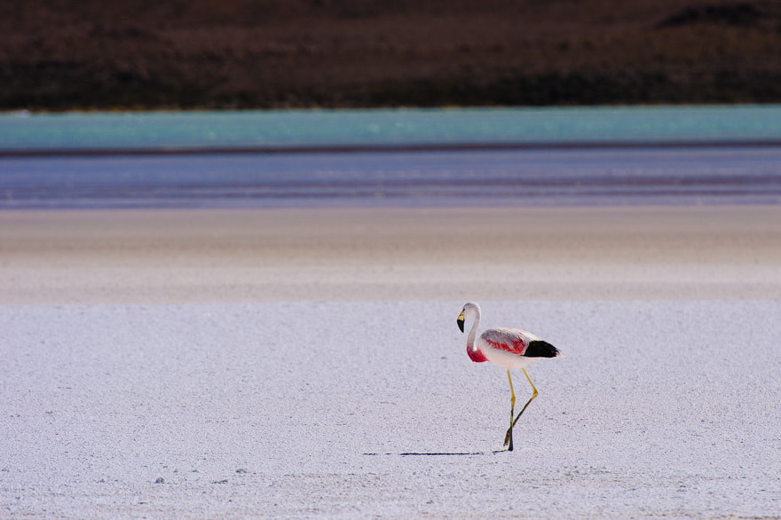 Photograph Andean flamingo by Damir Dragosevic on 500px
