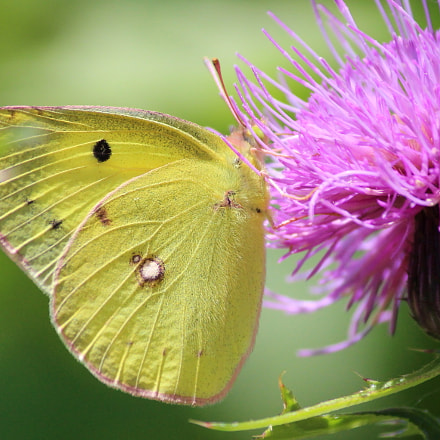 Eastern Pale Clouded Yellow, Canon EOS KISS X7, Canon EF-S 55-250mm f/4-5.6 IS II