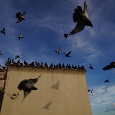 Pigeons, Sony SLT-A57, Carl Zeiss Vario-Sonnar T* DT 16-80mm F3.5-4.5 ZA (SAL1680Z)