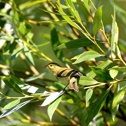 Willow warbler, Canon EOS KISS X3, Tamron SP 35mm f/1.8 Di VC USD + 2x