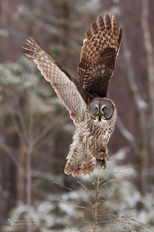Photograph Great Gray Owl by Mircea Costina on 500px