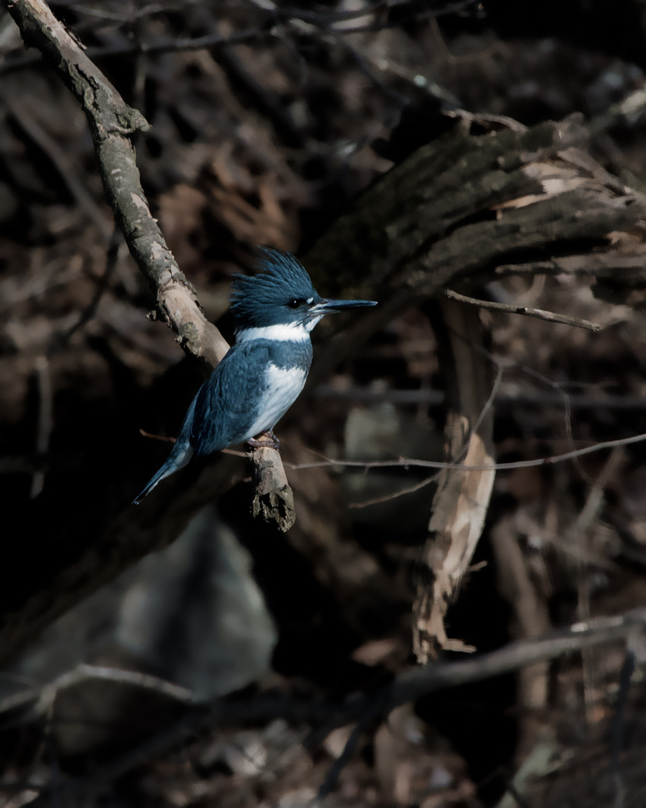 Photograph Belted Kingfisher Male by Steven Kersting on 500px