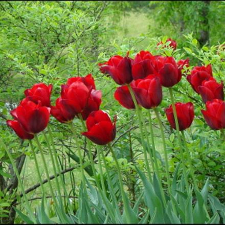 Red Tulips, Sony DSC-H9