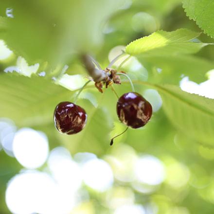 Cherry, Canon EOS 6D, Sigma 35mm f/1.4 DG HSM