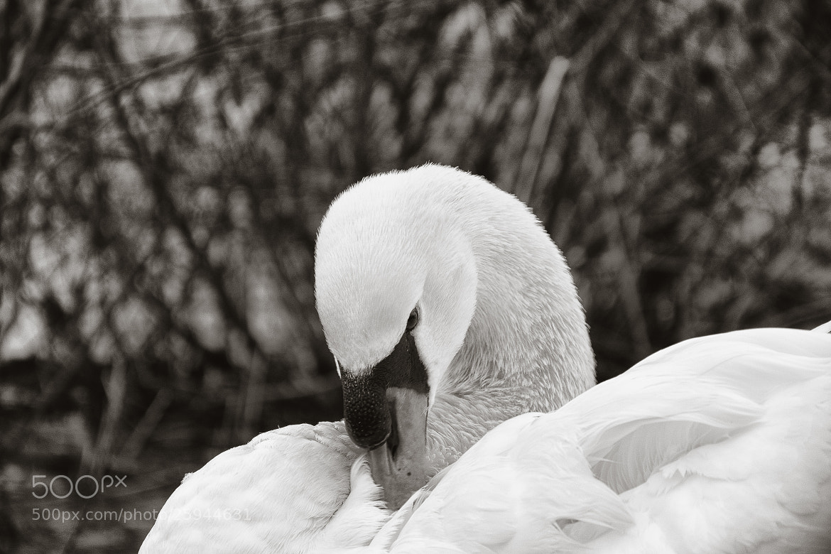 Photograph Swans are evil by Tom Maxim on 500px