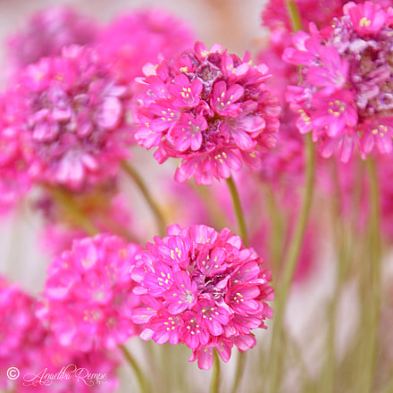 Pink, Nikon D5100, Sigma 18-125mm F3.8-5.6 DC OS HSM