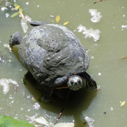 cross-country turtle, Sony DSC-H90