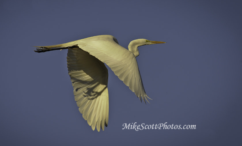Photograph Sharp Egret by MikeScottPhotos  on 500px