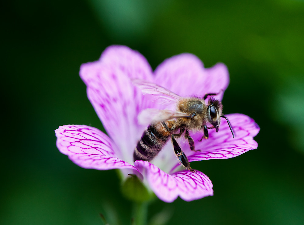 Photograph Busy Bee by Alex Chu on 500px