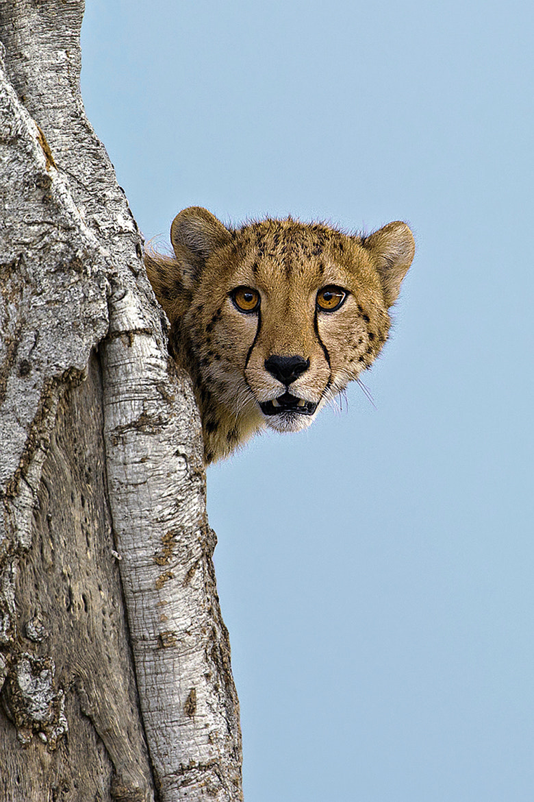 Photograph Cheetah lookback by Marc MOL on 500px