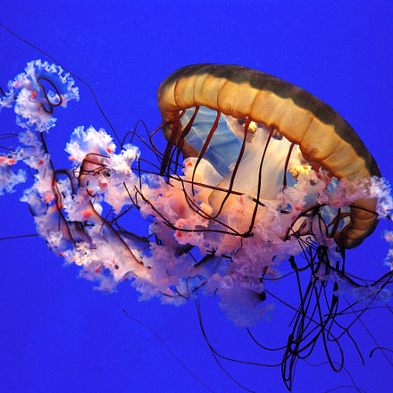 Beautiful Jellyfish, Nikon D70S, AF-S DX Zoom-Nikkor 18-70mm f/3.5-4.5G IF-ED