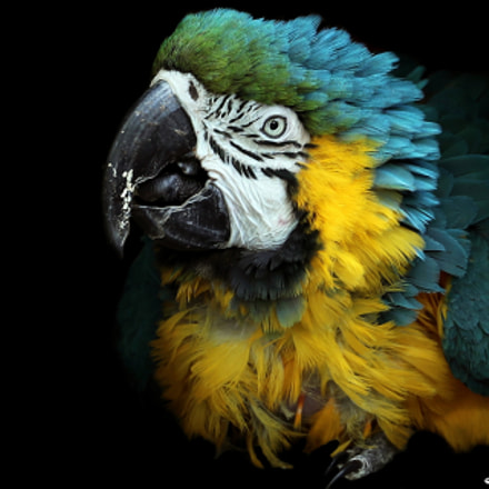 Blue and Yellow Macaw, Canon EOS-1D X MARK II, Canon EF 300mm f/2.8L IS II USM + 1.4x