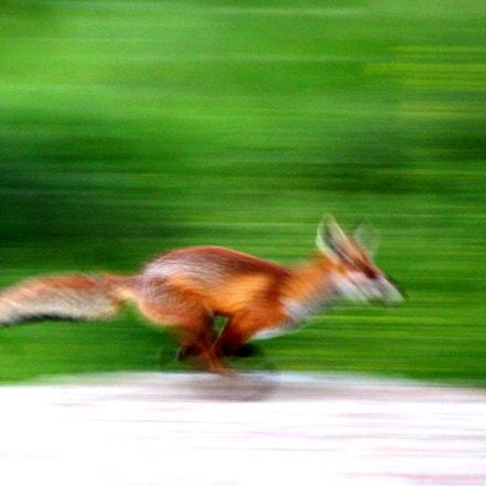 Fox in run, Canon EOS KISS X3, Tamron SP 35mm f/1.8 Di VC USD + 2x