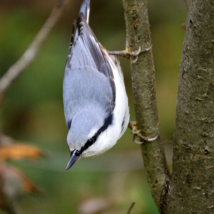 Nuthatch, Canon EOS KISS X3, Tamron SP 35mm f/1.8 Di VC USD + 2x