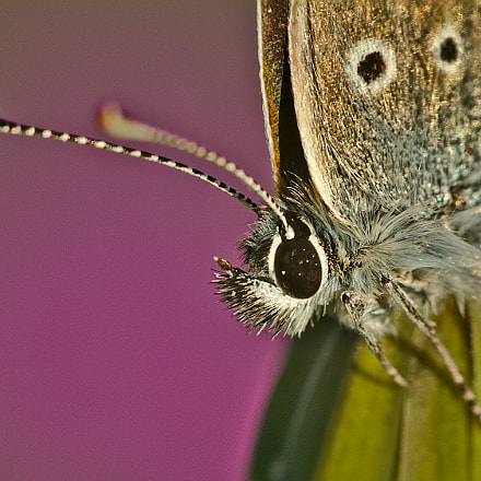 Papillon, Canon EOS 7D, Sigma APO Macro 150mm f/2.8 EX DG HSM