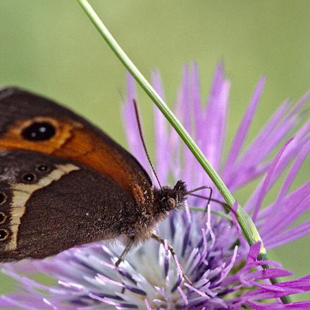 Papillon, Canon EOS 50D, Sigma APO Macro 150mm f/2.8 EX DG HSM