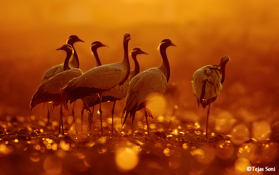Photograph in the fields of gold by Tejas Soni on 500px