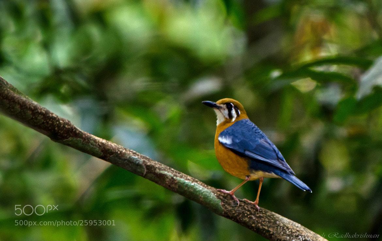Photograph Orange-headed ground thrush by Subhash Radhakrishnan on 500px