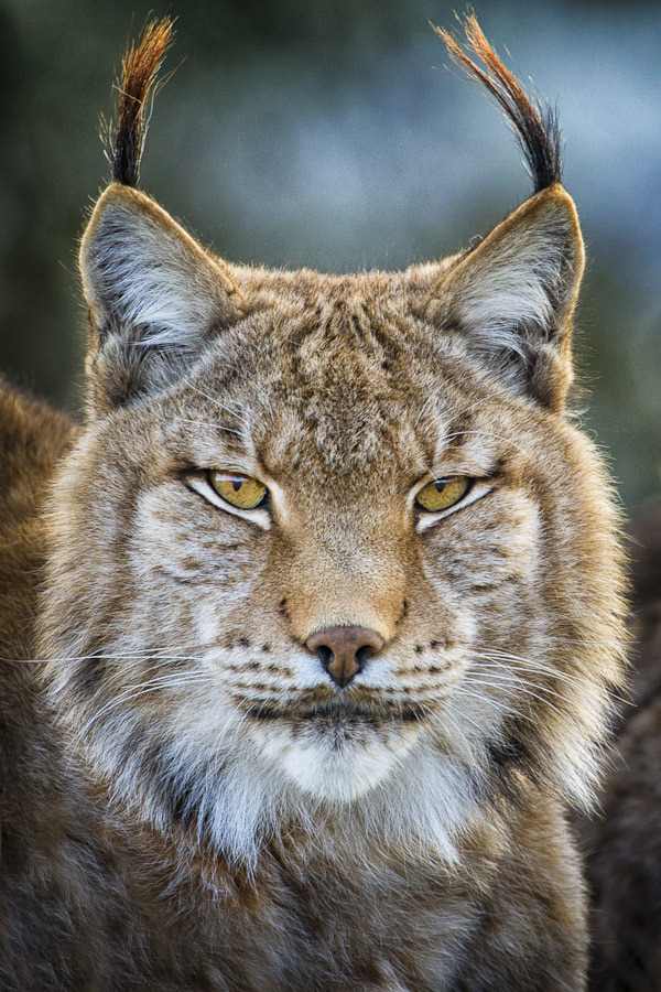 Photograph Lynx Portrait by Mario Moreno on 500px
