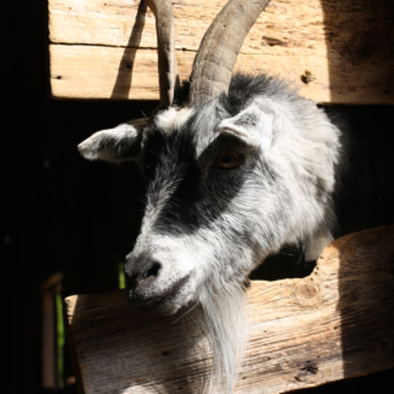 Goat, Canon EOS 1000D, Sigma 55-200mm f/4-5.6 DC