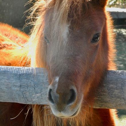 Miniature Horse, Nikon COOLPIX S9700