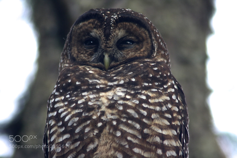Northern Spotted Owl on Waking