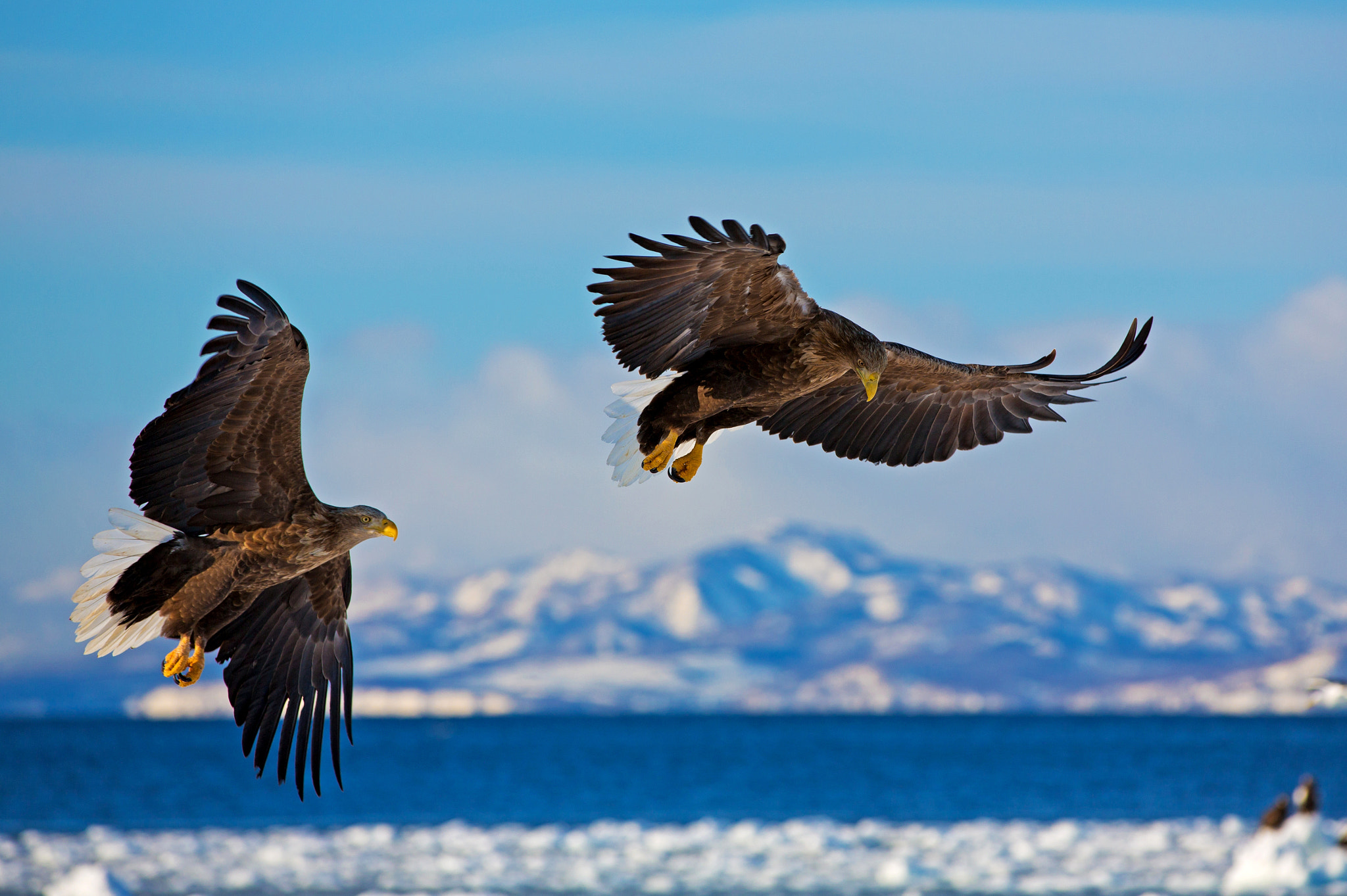 Photograph White tailed eagles by Akiko F on 500px