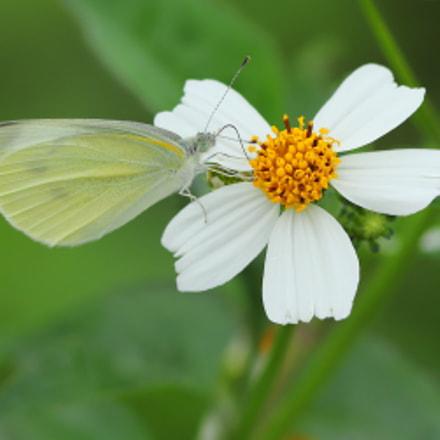菜粉蝶  Small Cabbage white, Canon EOS 6D MARK II, Canon EF 300mm f/4L IS