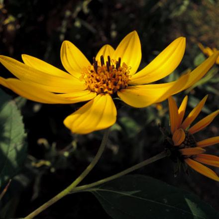 Topinamburs in the shade, Nikon COOLPIX P330