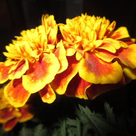 Marigolds!!!, Canon POWERSHOT ELPH 350 HS